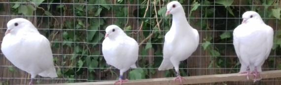 Promocija pačetinskog goluba