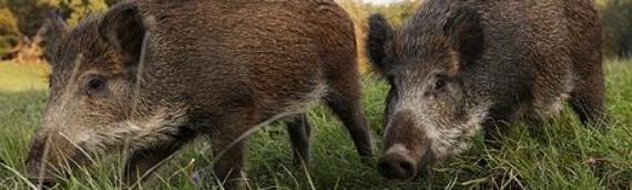 LD Borovo:Stigli repelenti za zaštitu useva od divljih svinja