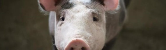U Hrvatskoj na snazi pojačane preventivne mere radi sprečavanja širenja afričke svinjske kuge