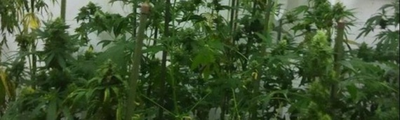 U Trpinji pronađena mala fabrika marihuane