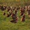 Ptičja gripa u Hrvatskoj