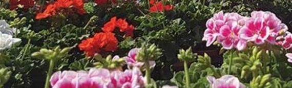 Sajam cveća u Dalj Planini 13.aprila