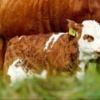 Isplaćeno 3,3 miliona kuna potpore proizvođačima u sistemu krava-tele