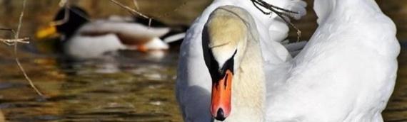 Ptičja gripa kod uginulih labudova u VSŽ