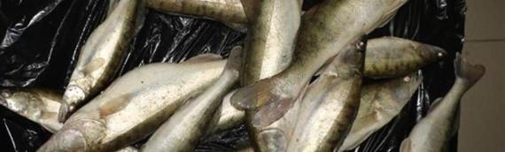Uprkos zabrani izlova, u automobilu 46-godišnjaka u Aljmašu policija pronašla 35 kg smuđa