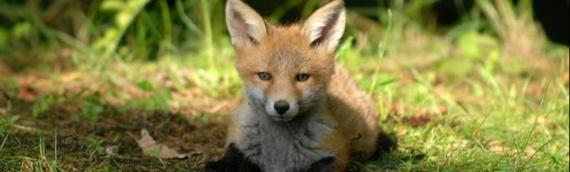 Počela jesenja akcija oralne vakcinacije lisica